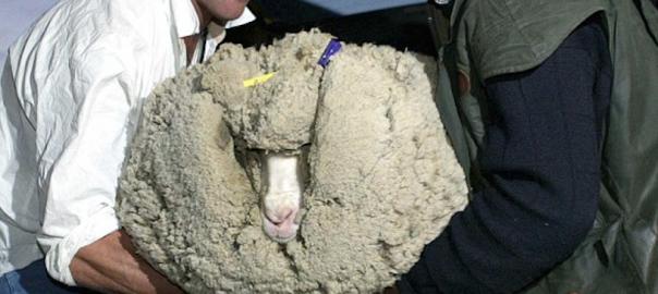 毛刈りから6年間も逃げ続けた羊の数奇な半生