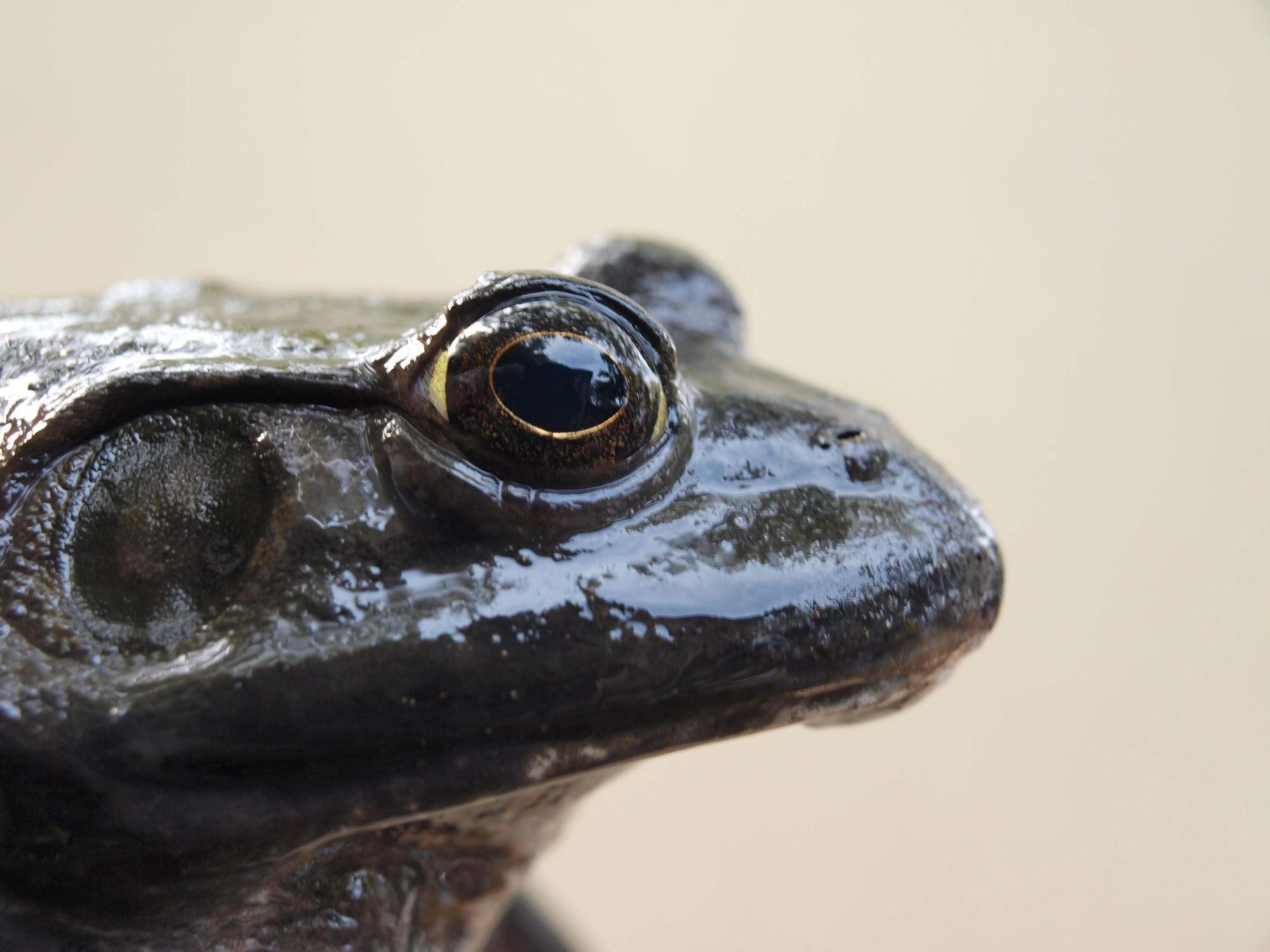 食用蛙を許可なく飼育すると懲役3年以下か300万円以下の罰金刑が課される
