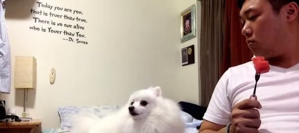 スイカが食べたいのに素直になれないツンデレ犬(48秒)