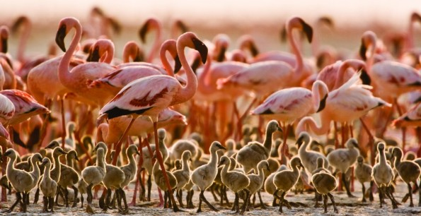 Flamingos-Lake-Natron