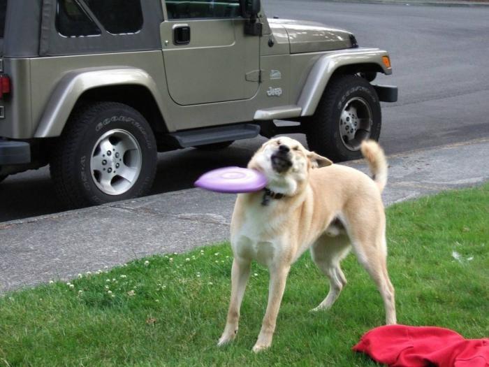 フリスビーにぶつかる犬