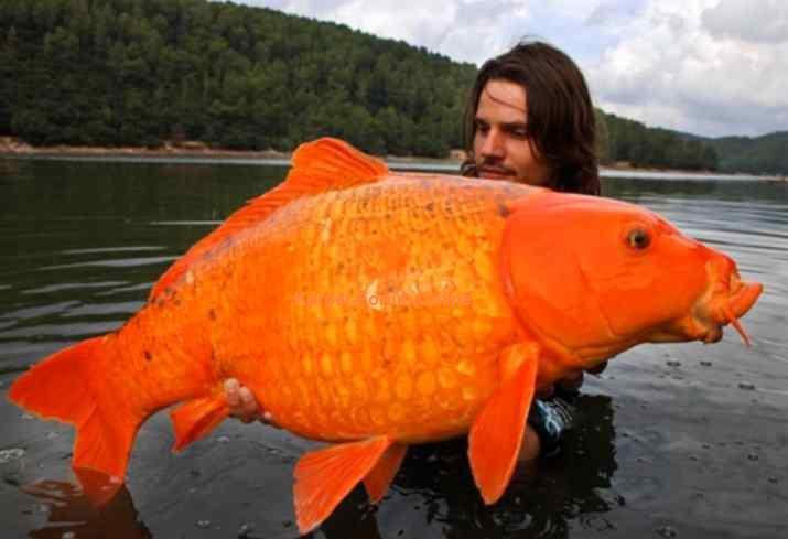 実在した巨大生物・金魚