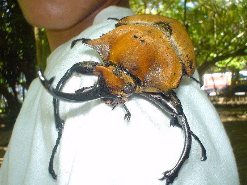 巨大カブトムシ