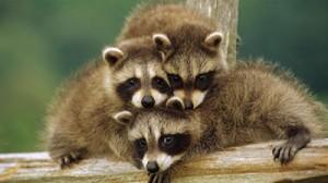 animales-posando-para-la-camara-racoon-funny-photos-s