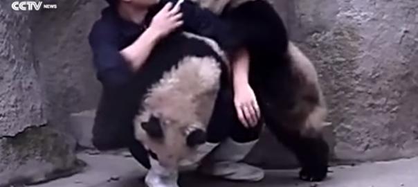 【ホッコリ対決】絶対に薬を飲みたくないパンダ×2 VS 飲ませたい飼育員さん