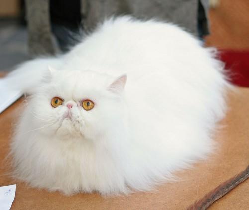 white-persian-cat1-500x423