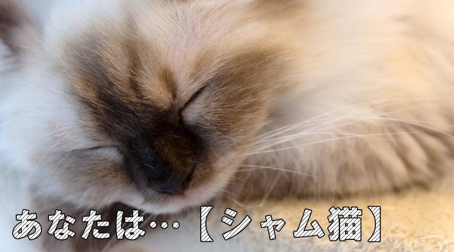 猫診断 シャム猫