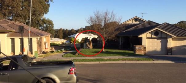 【オーストラリアの日常】住宅街でほのぼの過ぎる乱闘が勃発(動画5分)