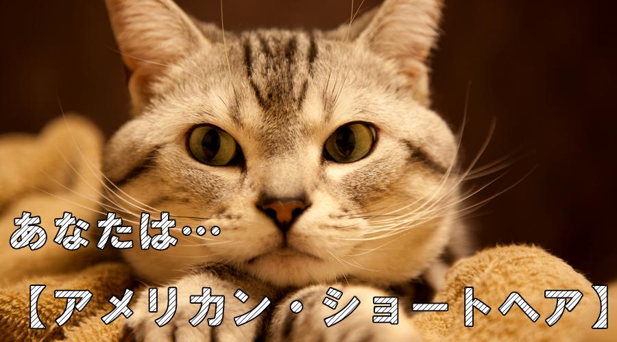 猫診断 アメリカンショートヘア