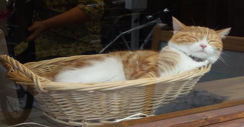 【今日のにゃんこ】お店のアイドル&招き猫「たまこちゃん」