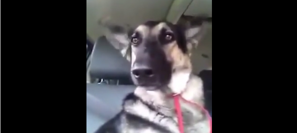 【溢れ出る音楽への愛】音楽に合わせて耳を動かす犬が器用過ぎる