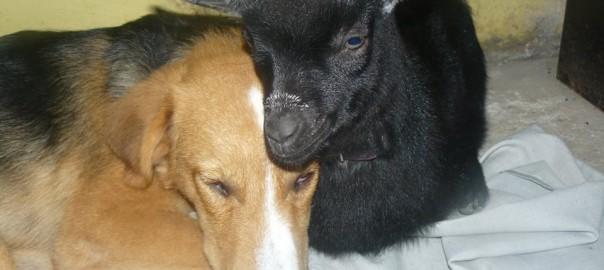 【異種愛】行き場を失った子ヤギは保護され、犬に育てられた
