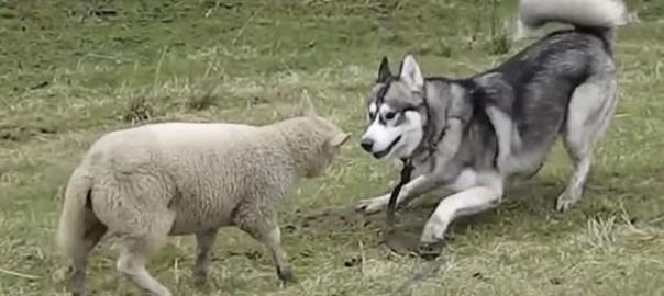 再会に歓喜する羊とシベリアンハスキー。この2匹の隠された関係とは?