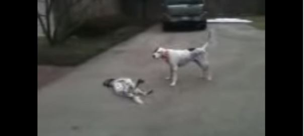 【わんわん劇場♪】喉元を噛まれて死んだふりをする犬