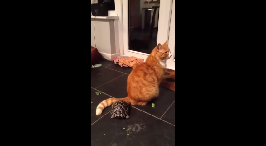 the tortoise adored a cat