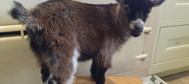 お店の人気者。母親に捨てられた生後5週間のヤギの成長の日々