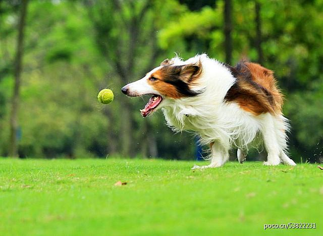 Lively dog Bobby playing tennis on the grass (10)