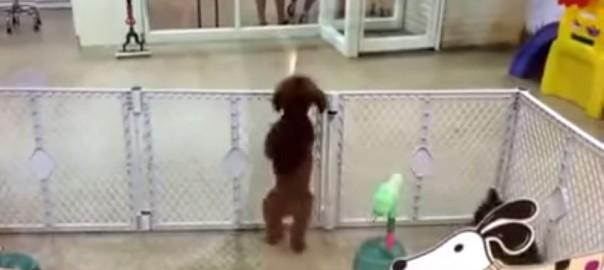 ご主人様早くー!!飼い主をみつけて腰フリダンスを踊るわんちゃんが可愛い(0:29)