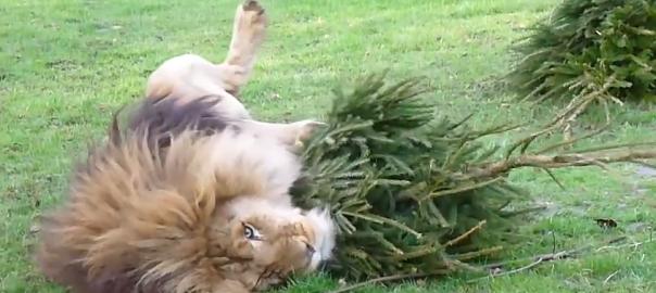 猛獣を使ったクリスマスツリーの意外なリサイクル方法とは...