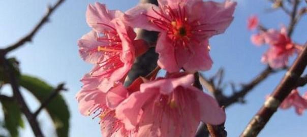 【極寒1月】沖縄では桜が咲き始めました