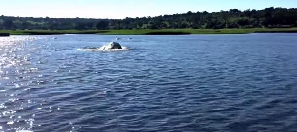 【動物界最恐説】ボートを猛追する巨大生物の正体とは(0:31)