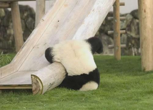 panda-falls-off-slide