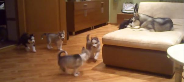 一家で大興奮!親犬が子犬たちに遊び方を教える(1:30)
