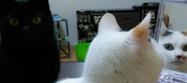 【今日のにゃんこ】遊びたいネコvs面倒なネコ。黒猫「やまとちゃん」と白猫「べるちゃん」