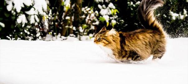 【今日のにゃんこ】僕らはコタツで丸くならない!雪が大好きなロシアネコ「エイミーちゃん」と「マーリンちゃん」