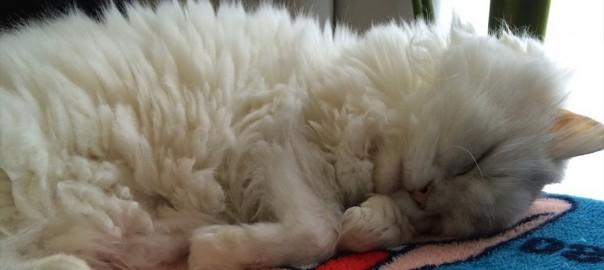 【今日のにゃんこ】猫じゃらしより枕が好きにゃ。趣味:寝ることな「ぽぽちゃん」