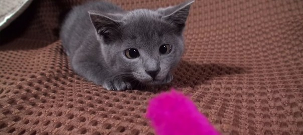 【今日のにゃんこ】ねこじゃらしに夢中!ヒコーキ耳が特徴な子猫「ミーミーちゃん」(0:50)
