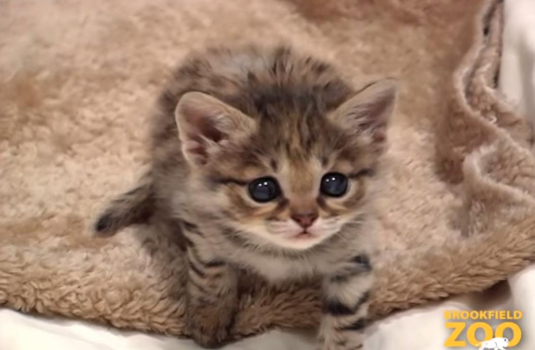 世界一小さい猫「クロアシネコ」4