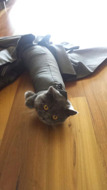 post-54640-cat-stuck-in-suit-sleeve-meme-hmXy