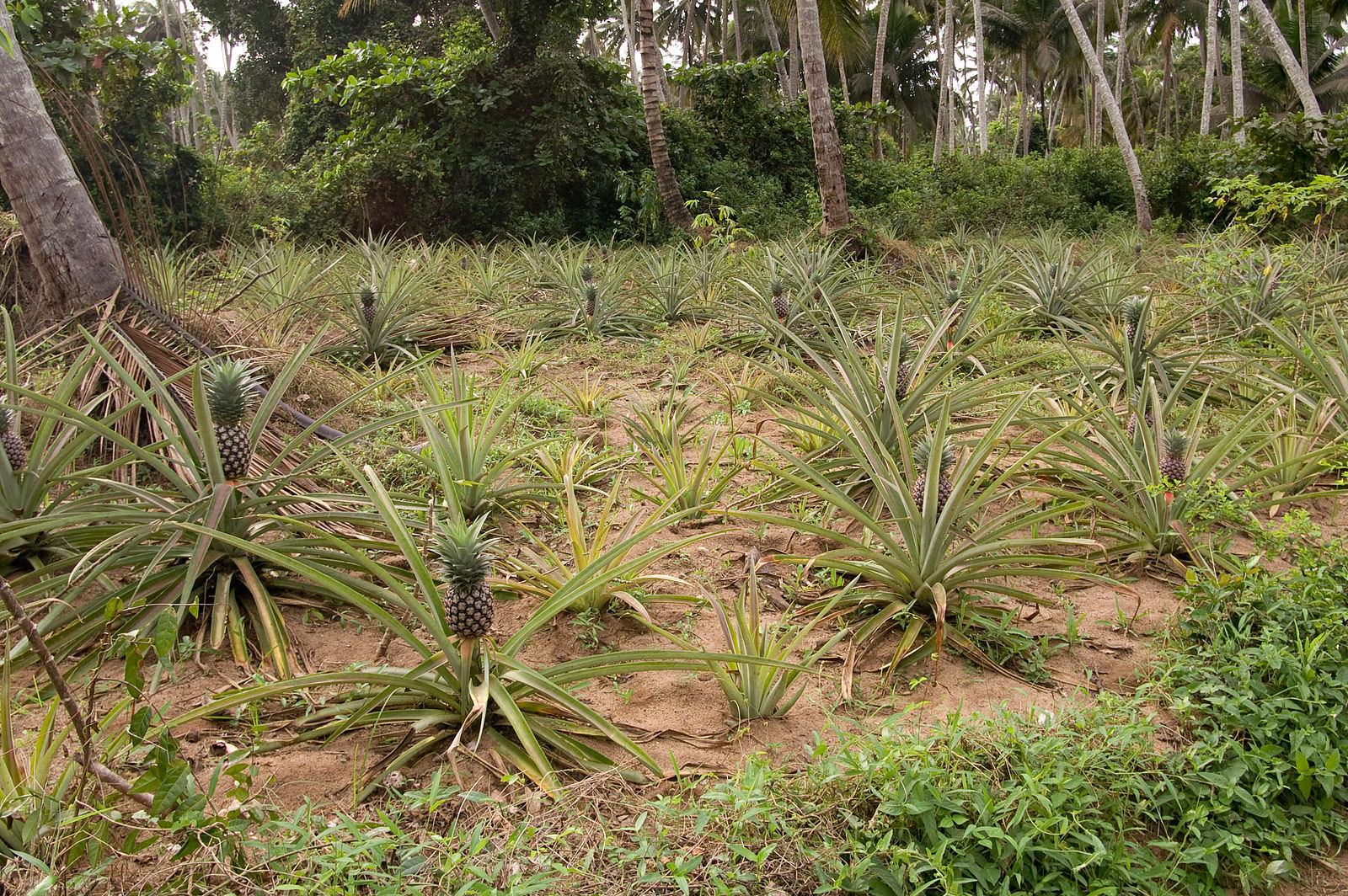 収穫前のパイナップルの画像