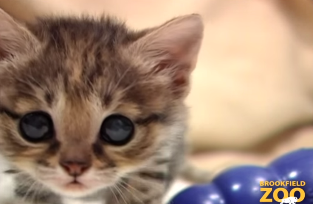 世界一小さい猫「クロアシネコ」6