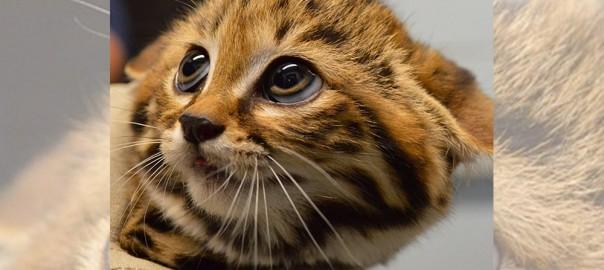 世界最小の猫「クロアシネコ」が可愛すぎて癒される