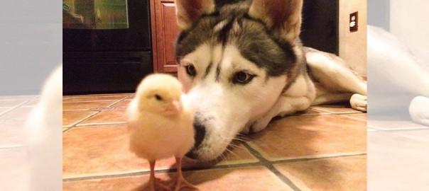 【種を超えた友情】ハスキー犬とヒヨコはずっと一緒 (1:15)