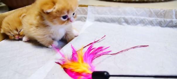 予想外のラスト!猫じゃらしでマンチカンと遊ぼうとした結果・・・ (2:20)
