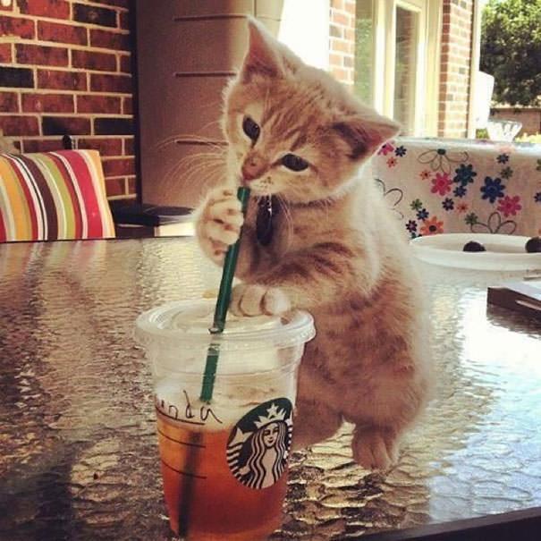 スターバックスを飲もうとするネコ