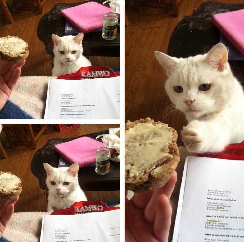 デザートを食べようとするネコ