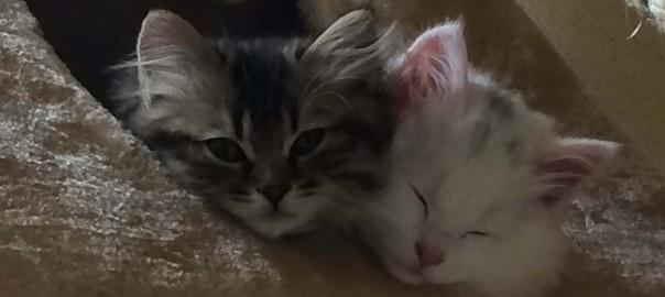 【今日のにゃんこ】毎日が運動会!遊び盛りの子猫コンビ「あんずちゃん」と「マロニーちゃん」
