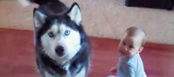 赤ちゃんと、赤ちゃんのモノマネをするハスキー犬にほっこりしすぎた!