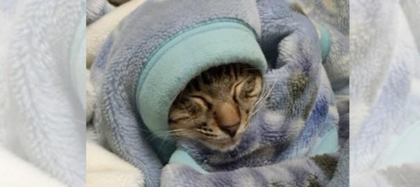 【今日のにゃんこ】起きてる姿を見れたらラッキーなネコ「ハクサイちゃん」
