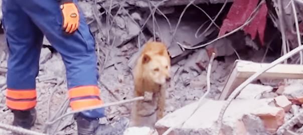 日本の救助犬2匹が、震災の起きたネパールで大活躍