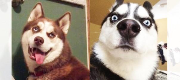 ハスキーの表情が豊かすぎてヤバい(画像14枚)