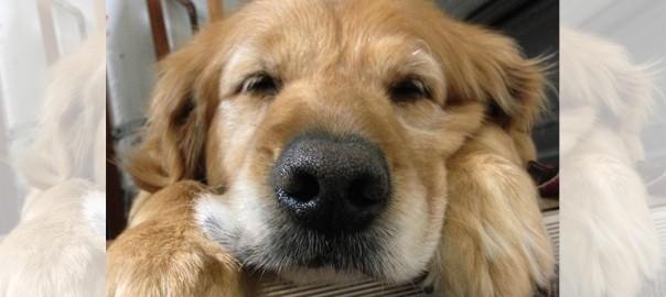 【可愛いけど臭い】ゴールデンレトリバーの飼い主にしかわからない18のコト