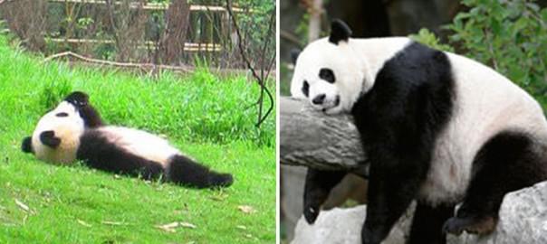 「死んでも働くもんか!!」ダレすぎておっさん化したパンダたち