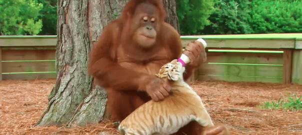 ベビーシッターはオランウータン!愛情いっぱいにトラの赤ちゃんの世話をする