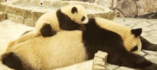 「起きてよ~」熟睡しているお母さんパンダを必死に起こそうとする子パンダ