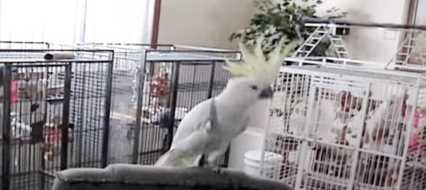 鳥界にスター誕生!ノリノリでステップを踏む天才「オウム」ダンサーがいるらしい